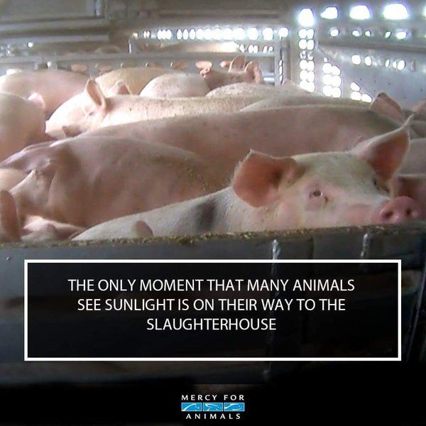 why finance such cruelty? ~ courtesy Mercy for Animals #vegan