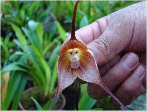 """La hermosa y extremadamente rara """"orquídea mono"""""""