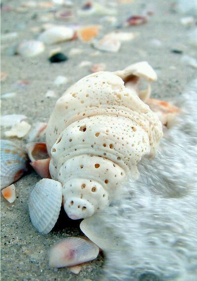 385 best images about Beach Treasures on Pinterest | Conch ...
