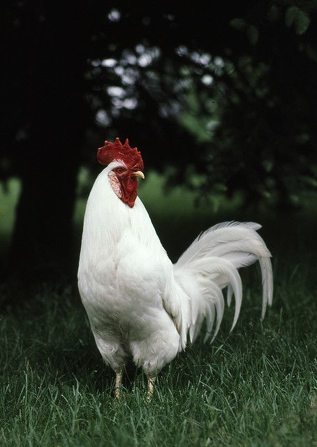 foggy the white leghorn rooster aka attack rooster