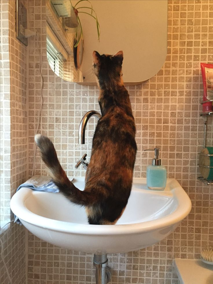 ' Mirror mirror on the wall - who's the cutest of them all' Chilli the cheeky calico cat admires herselfu in the myirror by standing in the  bathroom sink!  See   the birthday card made from this #photo  at Thortful