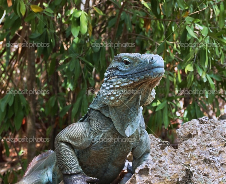 The Blue Iguana Unique To Cayman Islands Is An Endangered Species Protected Under Local