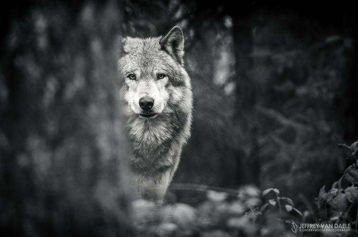 Wolf by Jeffrey Van Daele on 500px