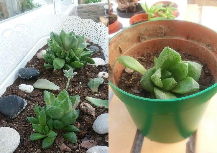 """Janela-estrela - """"Haworthia cuspidata"""".  Plantas reproduzidas de outras. Vaso verde recuperado."""