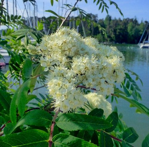 Rowan flower