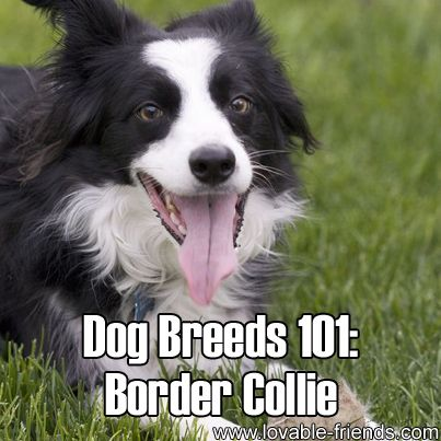 Please Share This Page: Dog Breeds 101: Border Collie – Image To Repin / SharePhoto – Wikipedia – lic. under CC 3.0 The Border Collie derives its name from the fact that it originated near the border of Scotland and England. It is a medium-sized breed of canine that is also known as an English, …