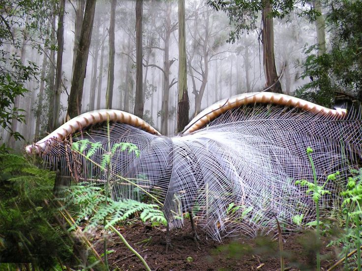 The Lyrebird lives in the Dandenong Ranges. While I've seen a small number of these birds now, I'm yet to see one displaying as in this picture.  Can't wait till I do though.