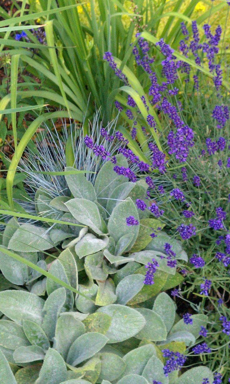 June 27: Stachys byzantina 'Helen Von Stein' (big leaf lamb's ear), Festuca glauca 'Elijah Blue' (blue fescue grass), Siberian iris foliage, Lavandula angustifolia 'Hidcote' (English lavender)
