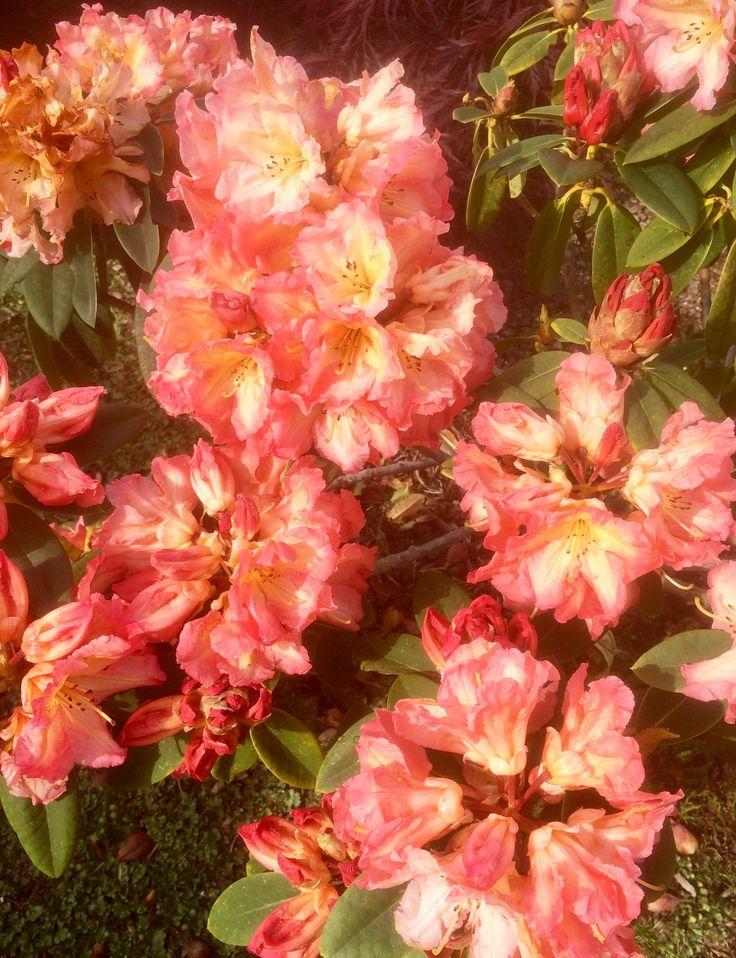 "Rhododendron ""Sun Fire"""