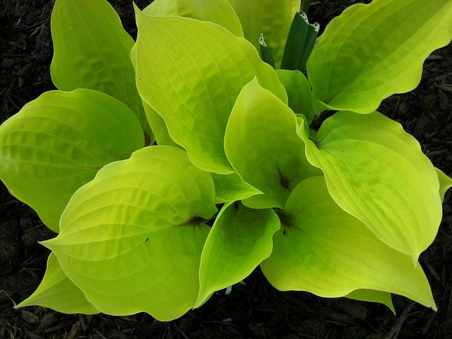 """hosta """"Fire Island""""   I first saw this growing in full sun and it was great...so had to find one for myself!"""