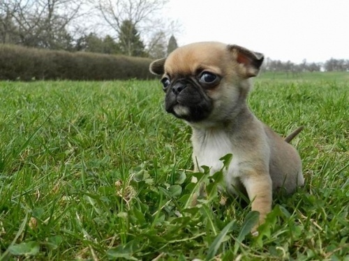 Puggle-  Cross between a Chinese Pug and a Beagle isnt it cute!!