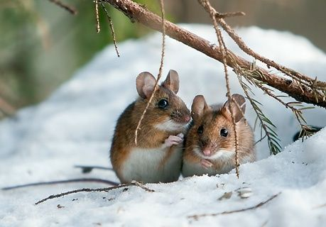 Christmas mice.