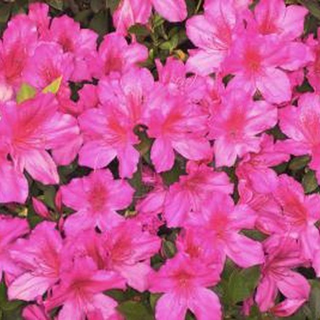 Azalea bushes are shade-loving and bloom with tropical-looking spring flowers.