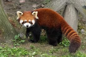 "The red pandas are by far my favourite animal! They are from the Himalayan forest and have a diet of bamboo, plants, and even bird eggs. Red pandas are listed as vulnerable on the IUCN Red List of Threatened Species because of habitat loss. There are fewer than 10,000 adult red pandas. FACT: The only reason why they have the name ""panda"" is because they have a thumb to grab bamboo like the giant pandas."
