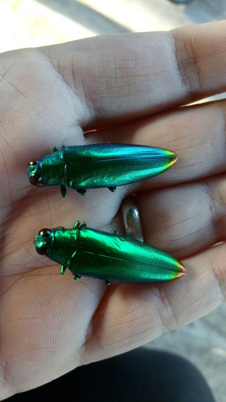 Incredible jewel beetles (Chrysocroa fulminans). Locally known as Satans fingernails! They are a type of wood boring beetle and theres about 15,000 different species in 450 genera! #wildlife #beetles #bugs #jewelbeetles #nature #metallic