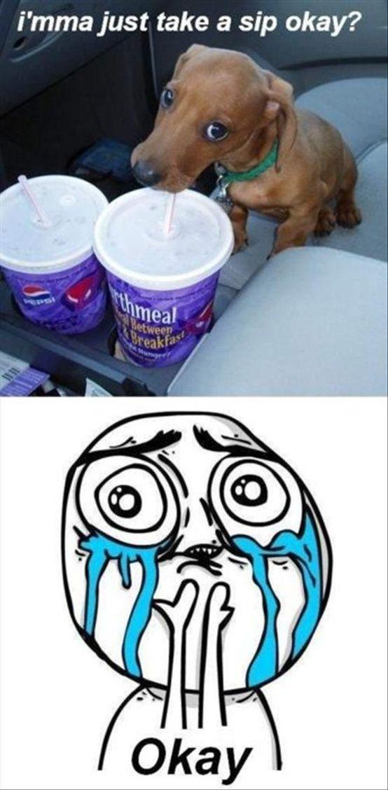 funny dachshund meme sip puppy