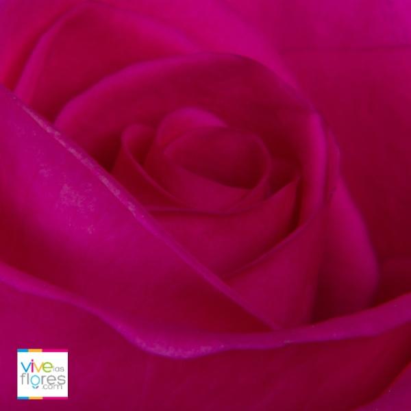 Agradecimiento y Aprecio. Emociones fáciles de transmitir cuando envías Rosas Rosado Oscuro de vivelasflores.com