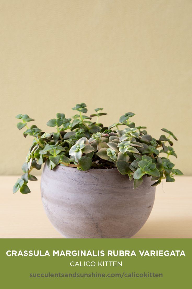 This Calico Kitten Can Have Green Or Variegated Varieties Types Of Succulents Succulents In Containers Succulents