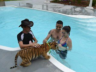 Engagement during a tiger swim at Dade City's Wild Things