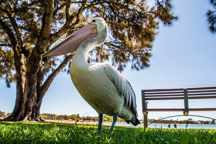 Pelican at Mandurah Foreshore by Leapfrog Photography.