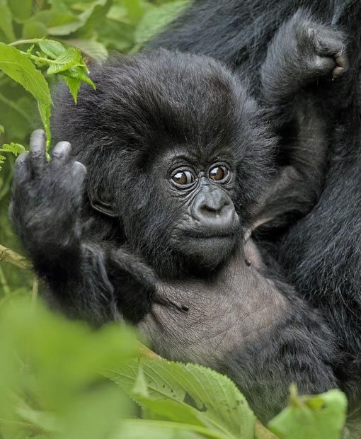 A young mountain gorilla (Gorilla beringei) enjoys the comfort of resting in its mother's arms in the remote  Virunga Mountains of Rwanda