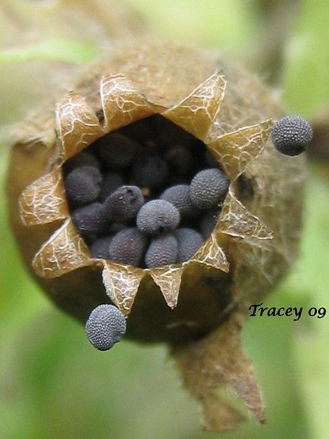 Seed Pod.  This is a great photograph.  The crinkly lines on the pod itself, (which looks like a vase) and the tiny bumps on the seeds are a contrast in texture.