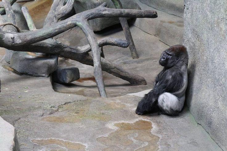 Male Silverback Gorilla [51843456] [OC]