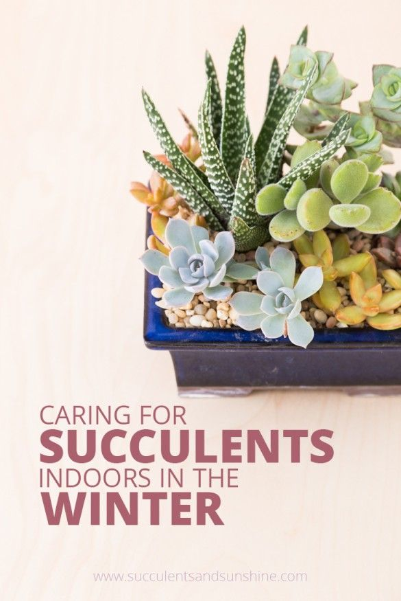 caring for succulents in winter indoor