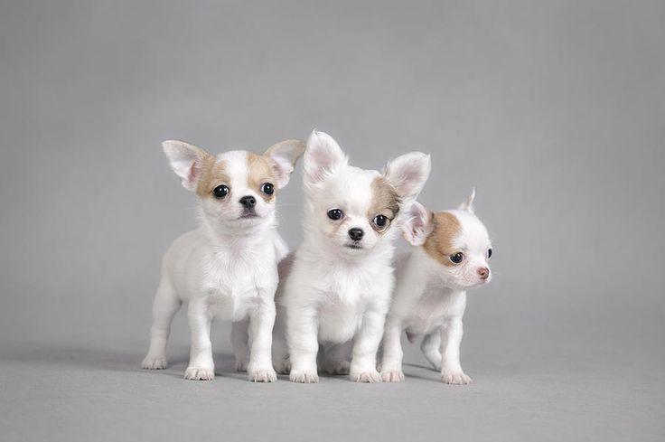 Chihuahua puppies portrait Photograph