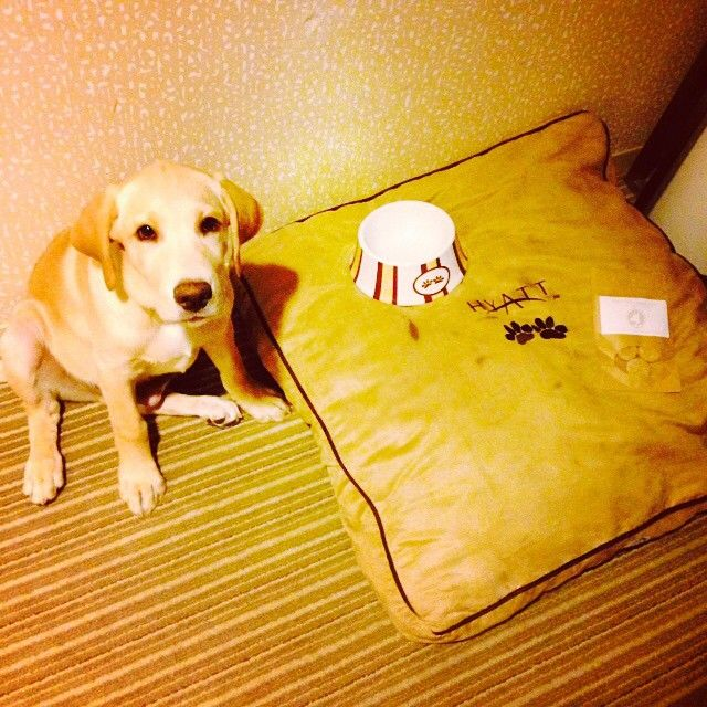 Labs make for great travelers! Photo courtesy of @bsinger916 at {Hyatt Regency Santa Clara}. #PetsofHyatt