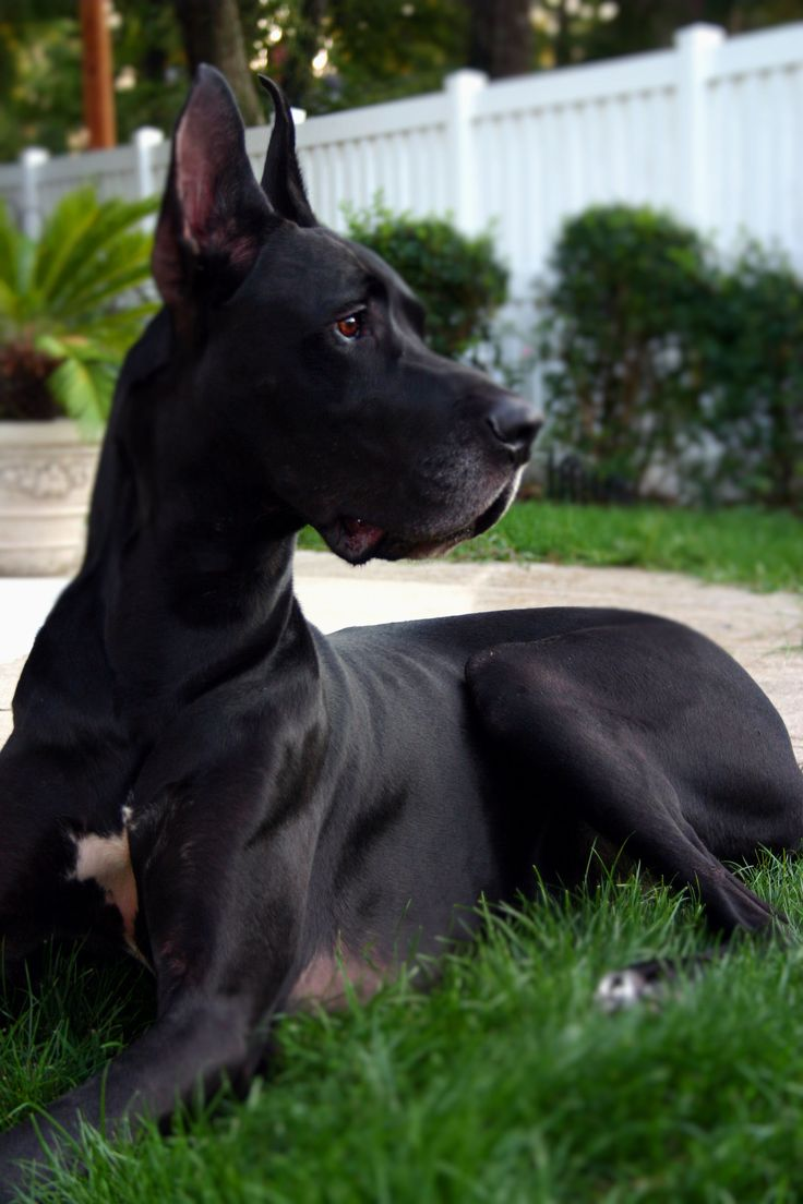 Great Dane, gorgeous gentle giant