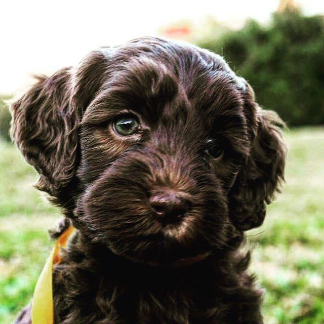 Chocolate de SPAL Southern Professional Australian Labradoodles