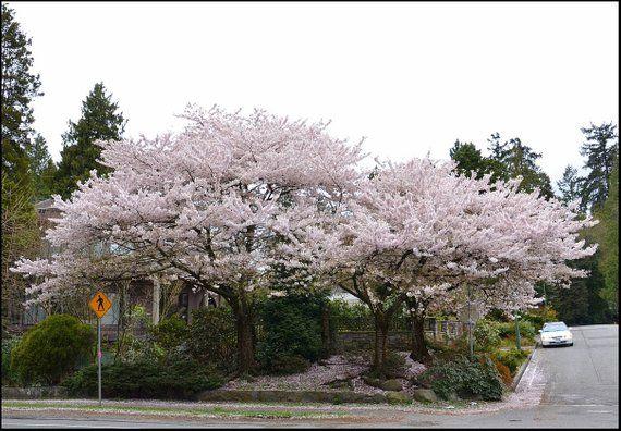 Akebono Flowering Cherry Tree Etsy Flowering Cherry Tree Trees To Plant Beautiful Flowers Garden