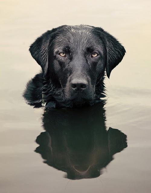 Black lab #dog #retriever #water #reflection