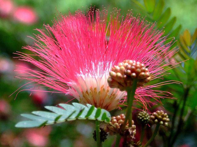 Mimosa tree flower (Albizzia julibrissin var. rosea)