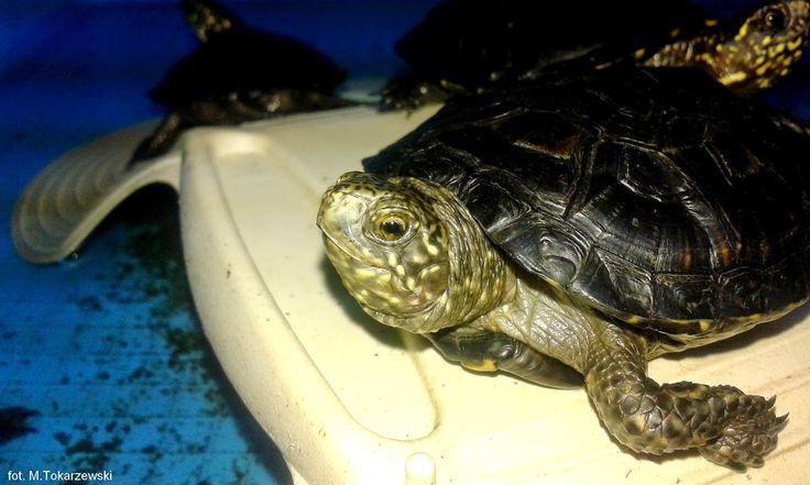 Młody żółw błotny