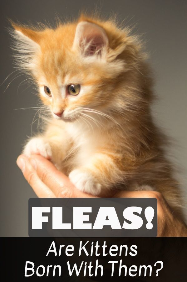 Are Kittens Ever Born With Fleas Fleas Kittens Cat Questions