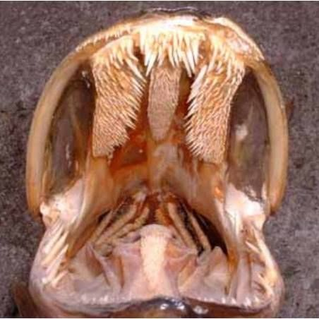 128 best fishing and muskies images on pinterest fishing for Muskie fish teeth