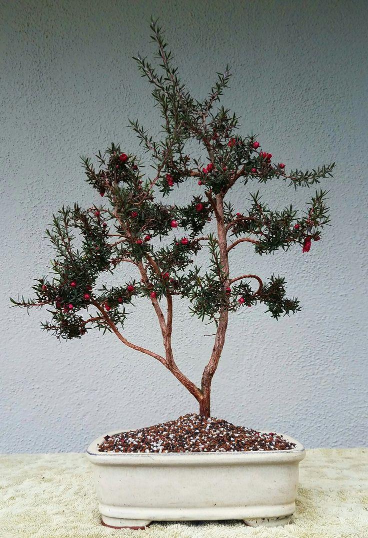 1000 Ideas About Pre Bonsai On Pinterest Bonsai Bonsai Trees