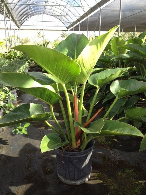 Les 277 meilleures images du tableau philodendron sur for Plantes tropicales exterieur