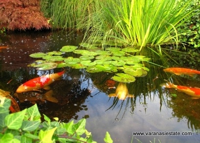 A pond without fish is like a zoo without animals ponds for Garden pond without fish