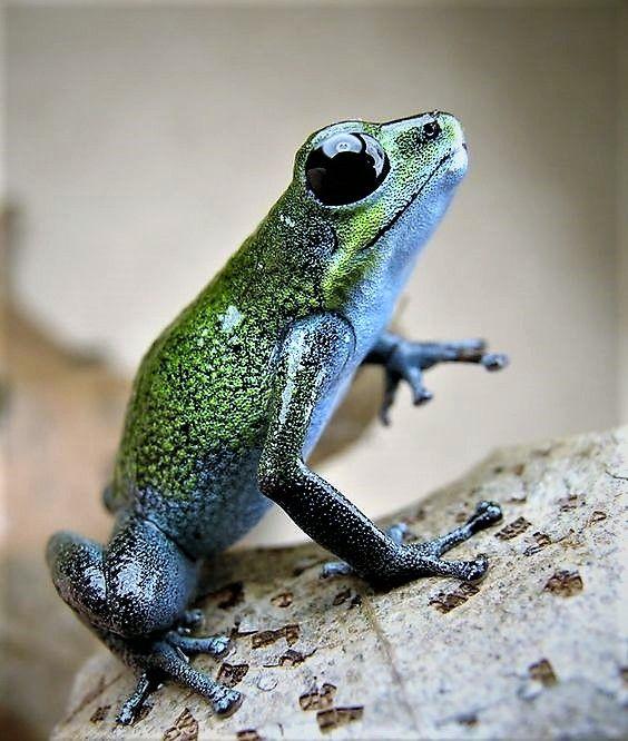 Rainbow Poison Dart Frog | Poisonous Dart Frogs | Poison ...