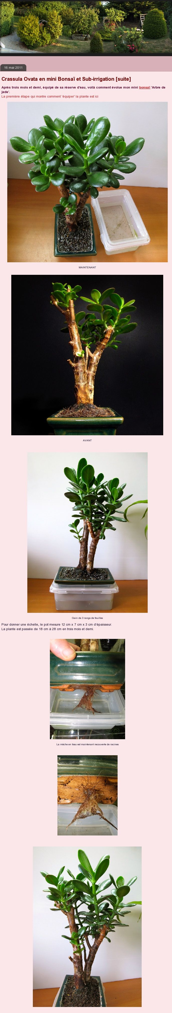 How to make a self-watering system for a Jade tree (Crassula)