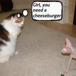 Ha ha ha!!!Cheeseburgers, Funny Cats, Hairless Cats, Funny Stuff, Too Funny, Skinny Girls, Fat Cats, So Funny, Kitty