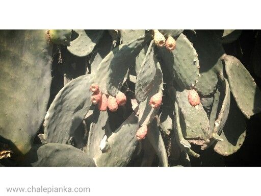 Season for the cactus fruits! October in Crete, Chania.