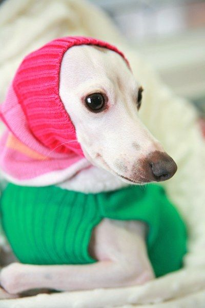 ~ Italian Greyhound ~ Adorable DIY Five Minute Upcycled Pet Snood or Dickie
