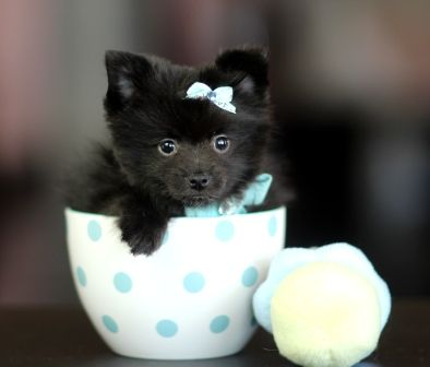 <3<3<3 Black&Gold Merle Pomeranian Pollard! <3<3<3 Don't Forget, We Ship With A Pet Friendly Airline! 954-353-7864 www.teacuppuppiesstore.com #pomeranian #pom #boo #boolookalike #boothepomeranian #toy #teacup #micro #pocketbook #teacuppuppies #teacuppuppiesstore #tiny #teacuppuppiesforsale #teacuppomeranian #teacuppom #small #little #florida #miami #fortlauderdale #bocaraton #westpalmbeach #southflorida #miamibeach #cute #adorable #puppy #puppiesforsale #puppylove