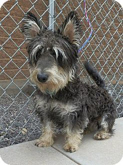 Schnauzer (Miniature)/Corgi Mix Dog for adoption in Ogden, Utah - Ryan