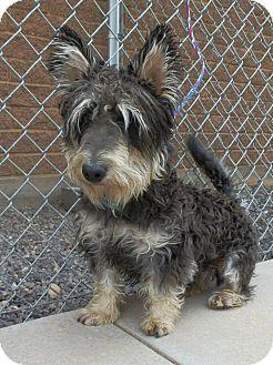 Schnauzer (Miniature)/Corgi Mix Dog for adoption in Ogden, Utah - Ryan