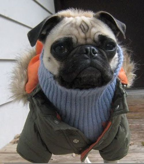 103 Pugs Wearing Little Jackets | The winter, Winter and Warm